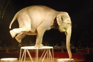 "Circus elephants endure much abuse learning ""entertaining"" tricks."
