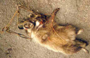 Raccoon - caught and suffered inhumane death in leghold trap.