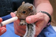 Rescued baby squirrel.
