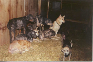 "Police, NYSHA, and local SPCA found these dogs huddled together at Animals Farm Home in Ellenville, NY. Their physical condition was very dependent on the length of time at the facility, growing increasingly worse as time passed. The hoarder, called this his hospital barn, a prelude to today´s popular term used by many hoarders-- hospice and nursing care. A typical and predicted answer to such conditions by a hoarder making him/herself look like a savior is ""You should have seen them when they came here."" Photo Sondra Woodvine, NYSHA"