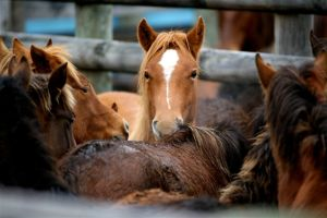 Horses to be slaughtered