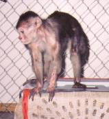 Jimmy, a Cinnamon Capuchin monkey, arrival at