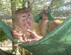 Jimmy spent 10 years confined to a cage in Latham, NY pet store before being relocated to sanctuary in Gainsville, FL.Jimmy resting in his hammock at sanctuary.