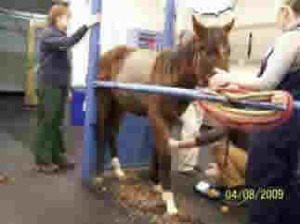 Emaciated yearling examined at Cornell University Ithaca, NY.