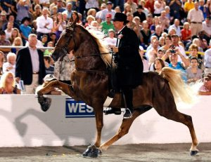 "Inhumane soring process used to train horse to ""high step."""