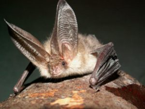 Northern long-eared bat. Bats are an important part of our ecosystem.