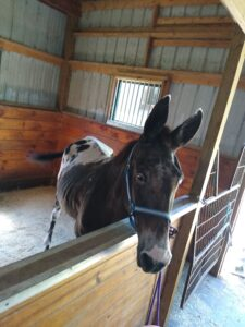 Randy on arrival to Equine Rescue Resource (ERR), with visibly prominent spine and ribs.